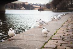 Seagulls near the Vltava river in Prague, Czech Republic royalty free stock images