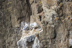 Seagulls nest on Latrabjarg cliffs - Iceland. Royalty Free Stock Photography