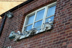 Seagulls Nesting at Scarborough Harbour stock images