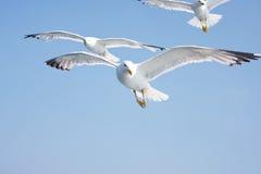 seagulls niebo Zdjęcie Royalty Free