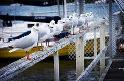 Seagulls at Noosa River Stock Photos