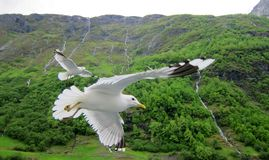 Seagulls in Norwegian fjord Stock Photos