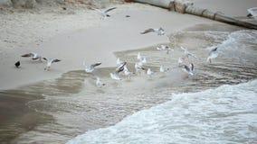 Seagulls och duvor ?r p? kustflugan g?r f?r att spendera tid arkivfilmer