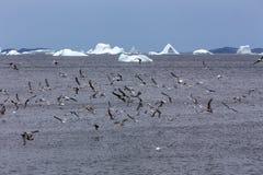 Seagulls och isberg, Newfoundland Arkivbilder