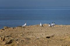 Seagulls odpoczywać Obrazy Royalty Free