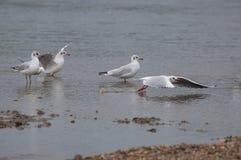 Seagulls odpoczywa w wodzie Obrazy Royalty Free