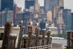 Seagulls at the Old Ferry Dock on Liberty Island near New York City, USA - Image. Seagulls at the Old Ferry Dock on Liberty Island near New York City, USA royalty free stock photo
