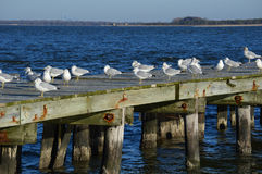 Seagulls on Old Rustic Pier Stock Images