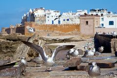 Seagulls by the old walls of Medina of Essaouira, Morocco Royalty Free Stock Photo
