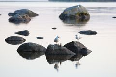 Free Seagulls On Rock At Calm Lake Stock Photography - 116297462
