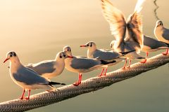 Free Seagulls On Ship Rope Waiting For Fish. Royalty Free Stock Images - 123992879