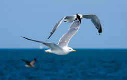 Seagulls over blue ocean Stock Photos