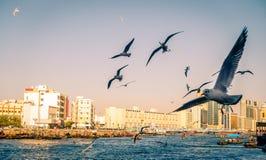 Seagulls over Dubai Creek Stock Image