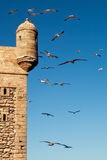 Seagulls over Essaouira fort. Lot of seagulls flying over Essaouira fort Royalty Free Stock Image