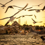 Seagulls over the Golden Horn in Istanbul at sunset Royalty Free Stock Photography