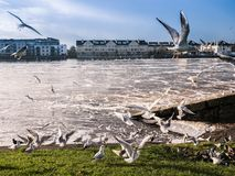Seagulls over river ,Athlone dam in background Stock Image