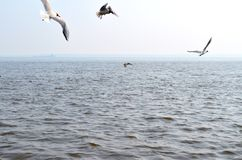 Seagulls over the river royalty free stock image