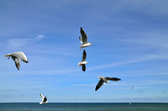 Seagulls over the sea Royalty Free Stock Photo
