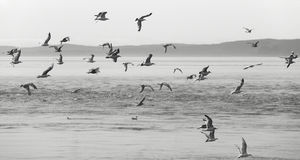 Seagulls over the sea. Vancouver. Canada Stock Photos
