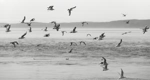 Seagulls over the sea. Vancouver. Canada Stock Photos