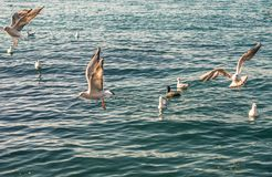 Seagulls are on and over sea waters royalty free stock images