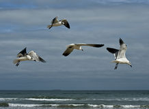 Seagulls Over Texas Beach Stock Photo