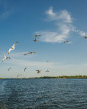 Seagulls over Volga River Royalty Free Stock Photos