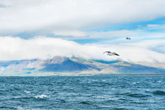 Seagulls over the water. Coast of Atlantic ocean, Reykjavik, Iceland Royalty Free Stock Photography