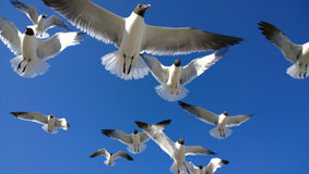 Seagulls overhead Royalty Free Stock Image