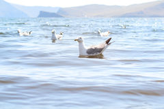SeagullS på Baikal sjön Royaltyfria Foton