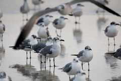 Seagulls på Daytona Beach Florida fotografering för bildbyråer