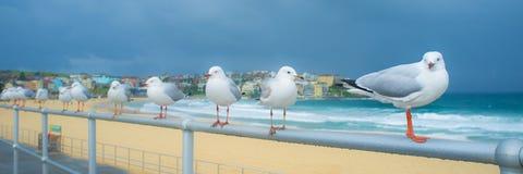 Seagulls på den Bondi stranden En våt helg i Sydney, Australien Fotografering för Bildbyråer