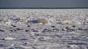 Seagulls på den djupfrysta isen i havet arkivfilmer