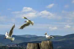 Seagulls på en pol Arkivfoto