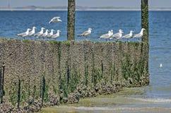 Seagulls på en trävågbrytare royaltyfri bild