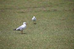 Seagulls på gräset Arkivbild