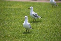 Seagulls på gräset Royaltyfri Bild