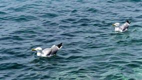 Seagulls på havet Arkivfoto
