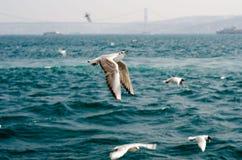Seagulls på havet nära Istanbul Fotografering för Bildbyråer