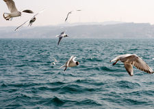 Seagulls på havet nära Istanbul Arkivbilder