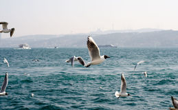 Seagulls på havet nära Istanbul Royaltyfria Bilder
