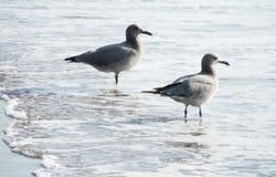 Seagulls på havsstranden i vågor Arkivbild