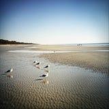 Seagulls på Hilton Head Island Beach fotografering för bildbyråer