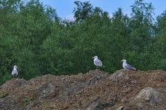Seagulls på kullen Royaltyfri Fotografi