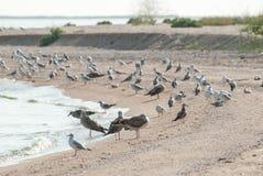 Seagulls på kust Royaltyfria Foton