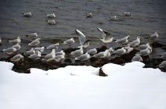 Seagulls på kusten en vinterdag Royaltyfri Foto