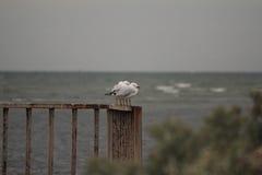 Seagulls på pir Arkivfoto