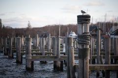 Seagulls på poler arkivbilder
