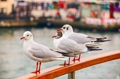 Seagulls på räcket Fotografering för Bildbyråer
