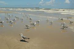 Seagulls på sand av golfen av Mexico sätter på land Royaltyfri Bild
